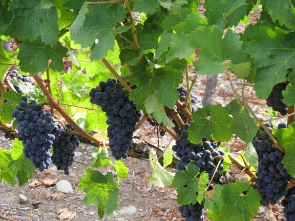 Bunches of grapes on vines at Trinity Hill vineyard in the Gimblett Gravels region Hawkes Bay NZ 13-15Feb08