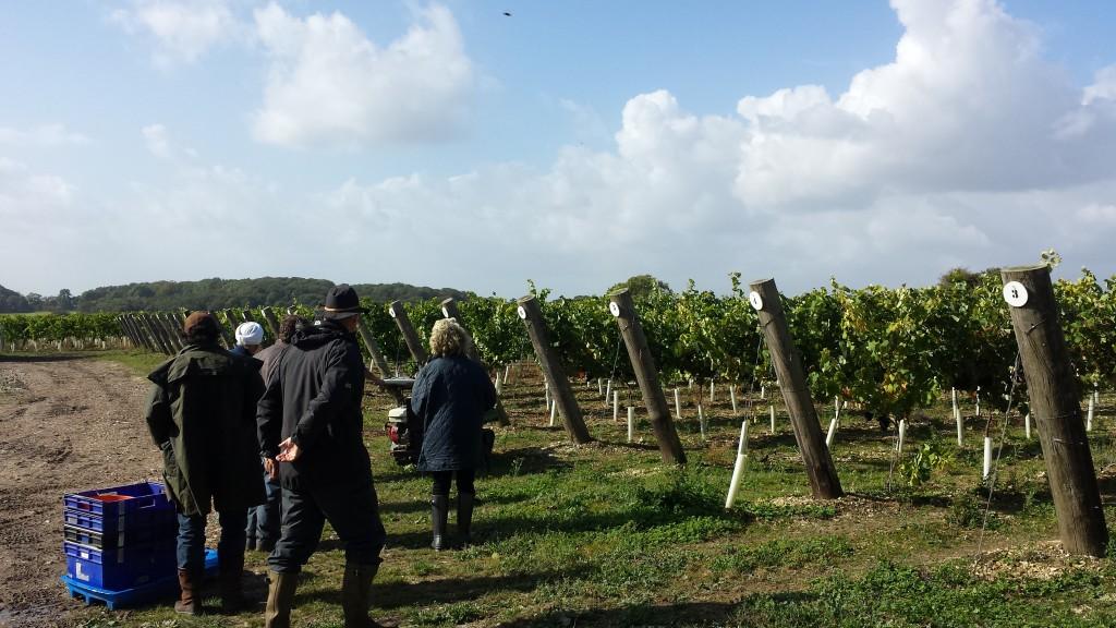 Hambledon Vineyard 2014 Harvest